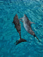 bahamas, north bimini, dolphins, water,