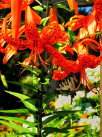 pennsylvania, quakertown, tiger lily, orange, butterfly, pollen,