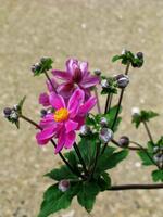 pennsylvania, quakertown, wild geranium,