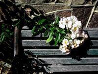 pennsylvania, quakertown, old, park bench, climbing rose,