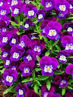 pennsylvania, quakertown, purple, pansies, spring,