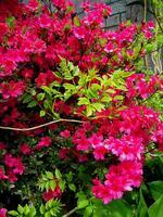 pennsylvania, quakertown, spring, azalea, blooms, garden,