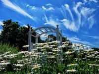 pennsylvania, quakertown, daisy, summer,
