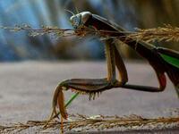 pennsylvania, quakertown, ninja, mantis,