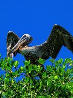 florida, sanibel island, brown pelican, wings,