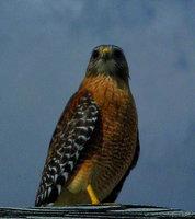 estero, florida, red shoulder hawk, community,