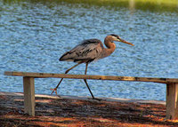 estero, florida, great blue heron, fishing,
