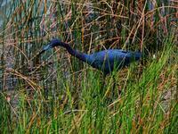 ft meyers, florida, lakes park, heron, little blue heron,