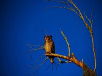 florida, estero, the great horned owl,