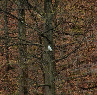 new jersey, harmony township, great white snowy owl,