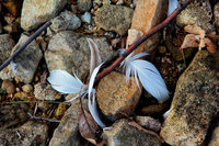 Feathers in the Rough
