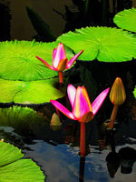 Water Lilies Unfold