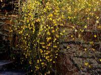 Yellow Cascade