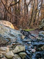 lower saucon twp, pennsylvania, raccoon,  waterfall,