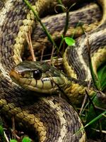 upper saucon twp, pennsylvania, garter snake, guardian,