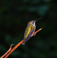 pennsylvania, upper saucon twp, ruby throated hummingbird, morning,