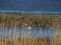 new jersey, oceanville, edwin b forsythe national wildlife refuge, great egret, crane, illusion,