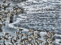 new jersey, sandy hook state park, gunninson beach, shorebirds, wave,
