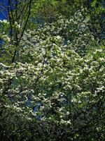 pennsylvania, haycock, native dogwood, blooms, spring,