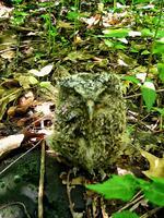 pennsylvania, haycock, screech owl, night, eyes, don hutchinson,
