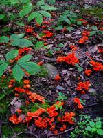 Flamboyant Fungus