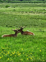 colorado, rocky mountain national park, hidden valley, elk, alpine meadow,