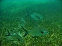 yal-ku lagoon, akumal, mexico, permit fish,