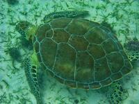 mexico, quintana roo, akumal bay, loggerhead turtle, sea grass,