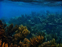 caribbean sea, tulum, mexico, underwater, sea rod, garden,