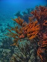 caribbean sea, tulum, mexico, underwater, sea rod,