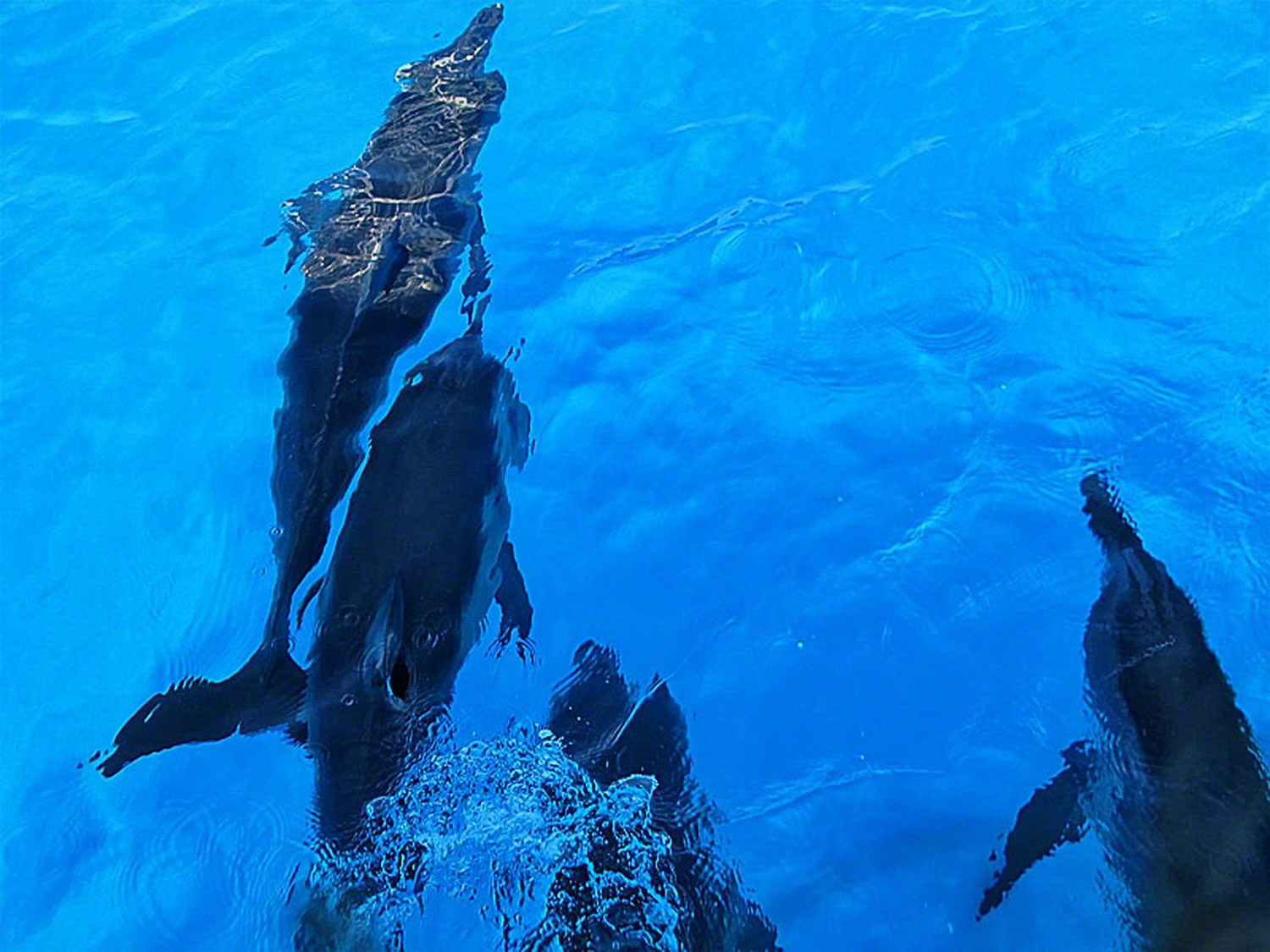 The Dolphins led the way to there Atlantic Ocean playground.