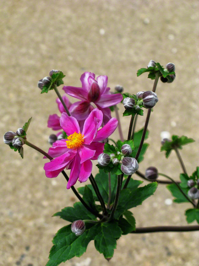 pennsylvania, quakertown, wild geranium, , photo