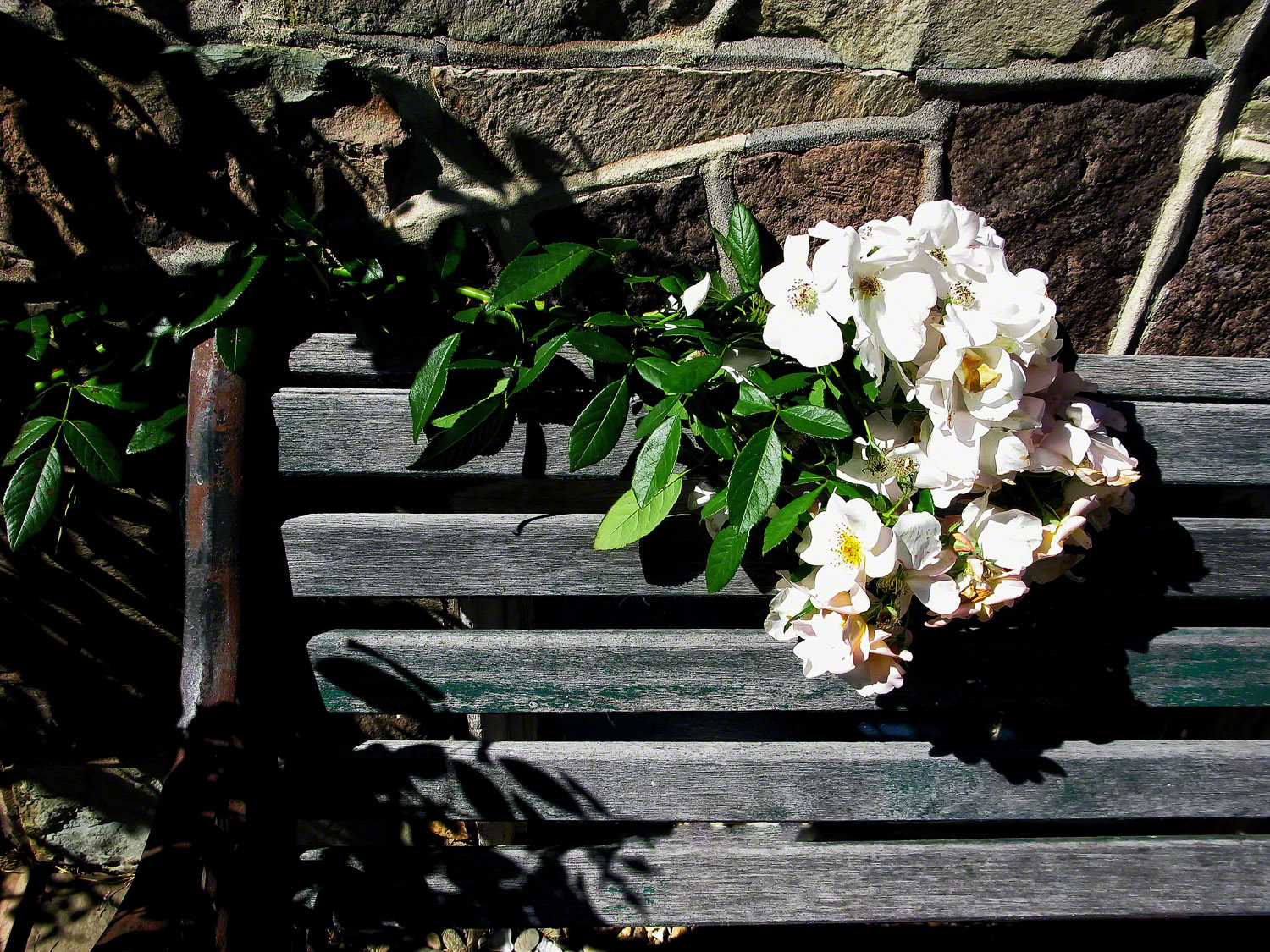 The old park bench gave this climbing rose a place to rest.
