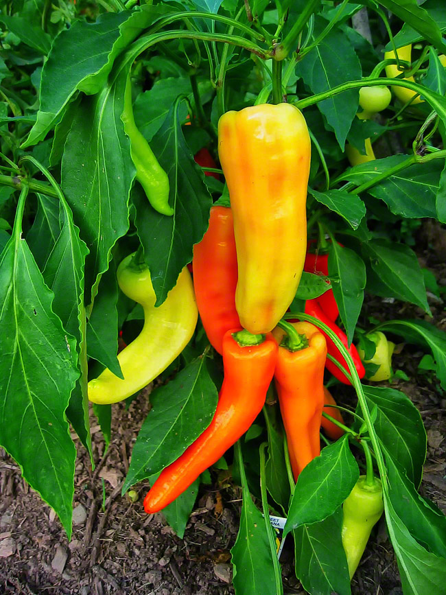 pennsylvania, quakertown, peppers,, photo