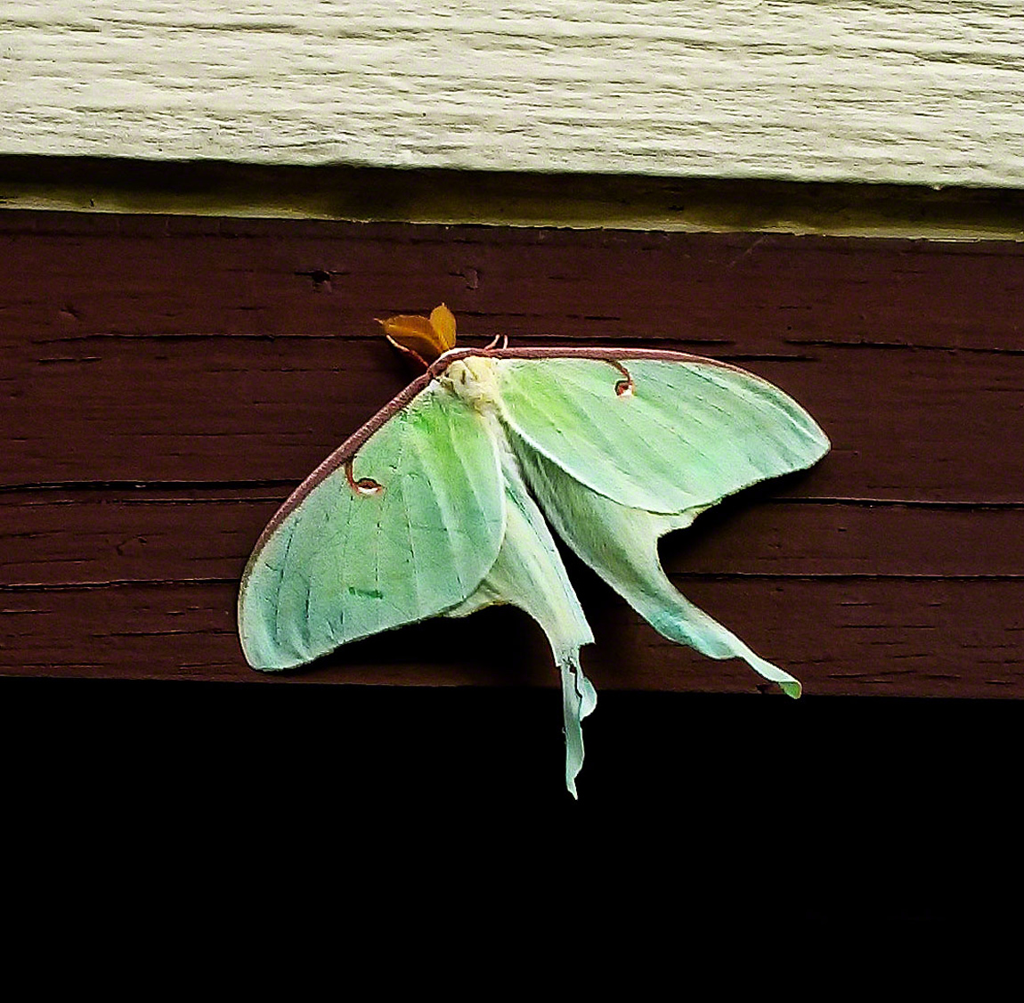 The Luna Moth is one of the largest moths in North America.