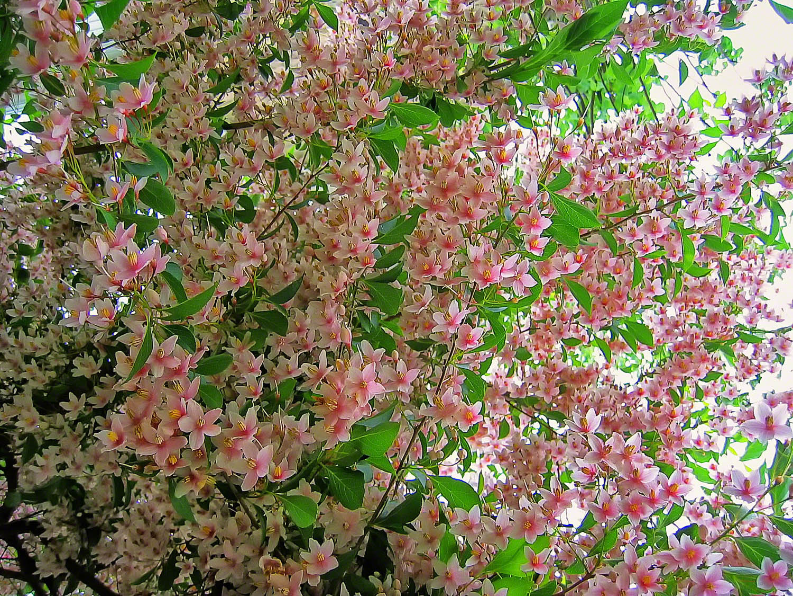 pennsylvania, quakertown, pink japanese snowbell, spring,, photo