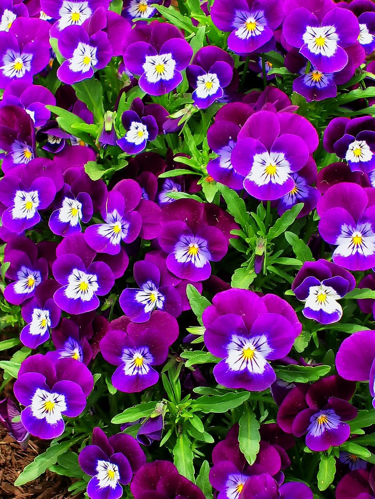 pennsylvania, quakertown, purple, pansies, spring,, photo