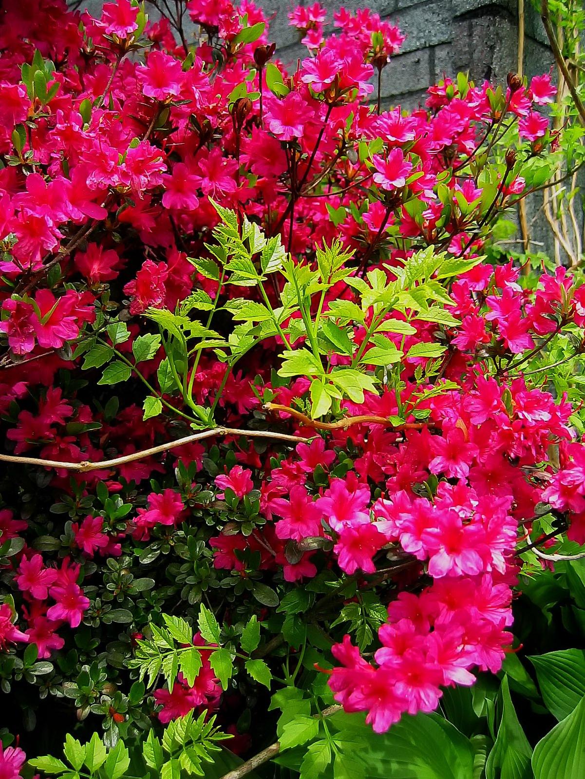 A newly emerging garden of Azalea blooms.
