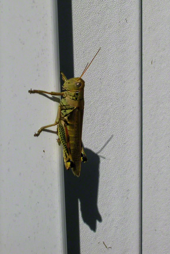 This grasshopper has discovered his shadow self.