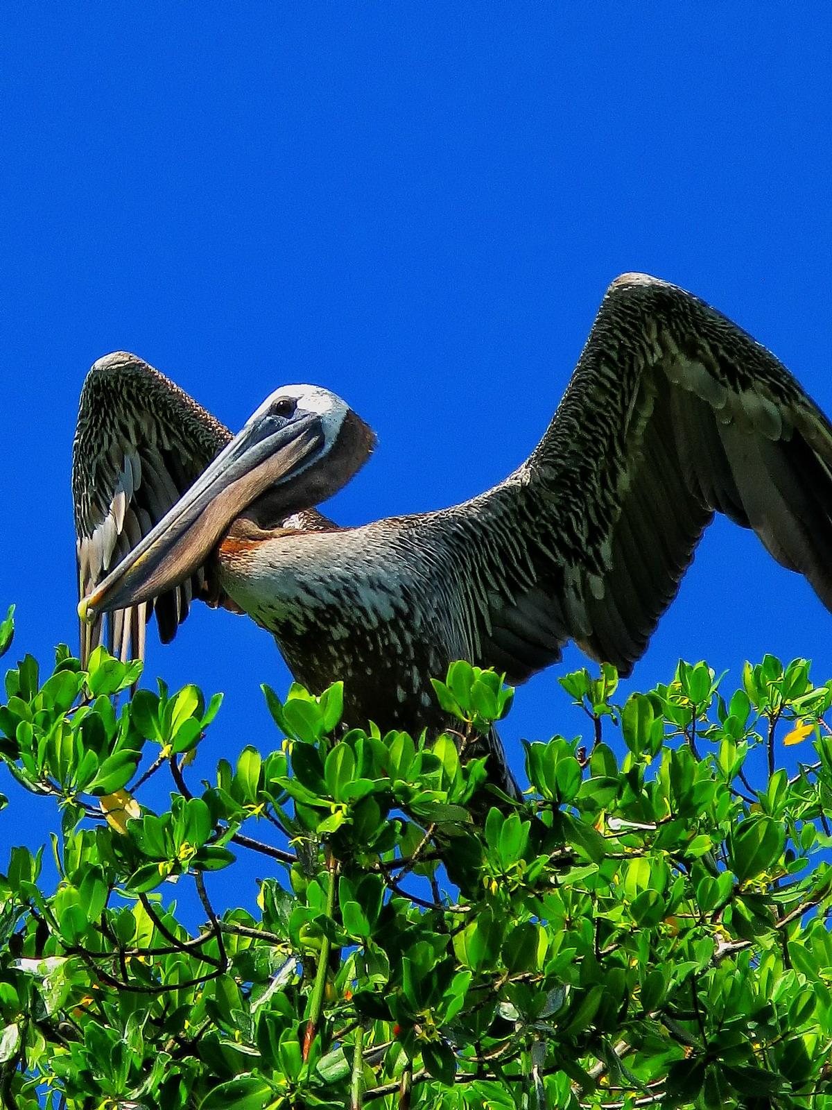 florida, sanibel island, brown pelican, wings,, photo