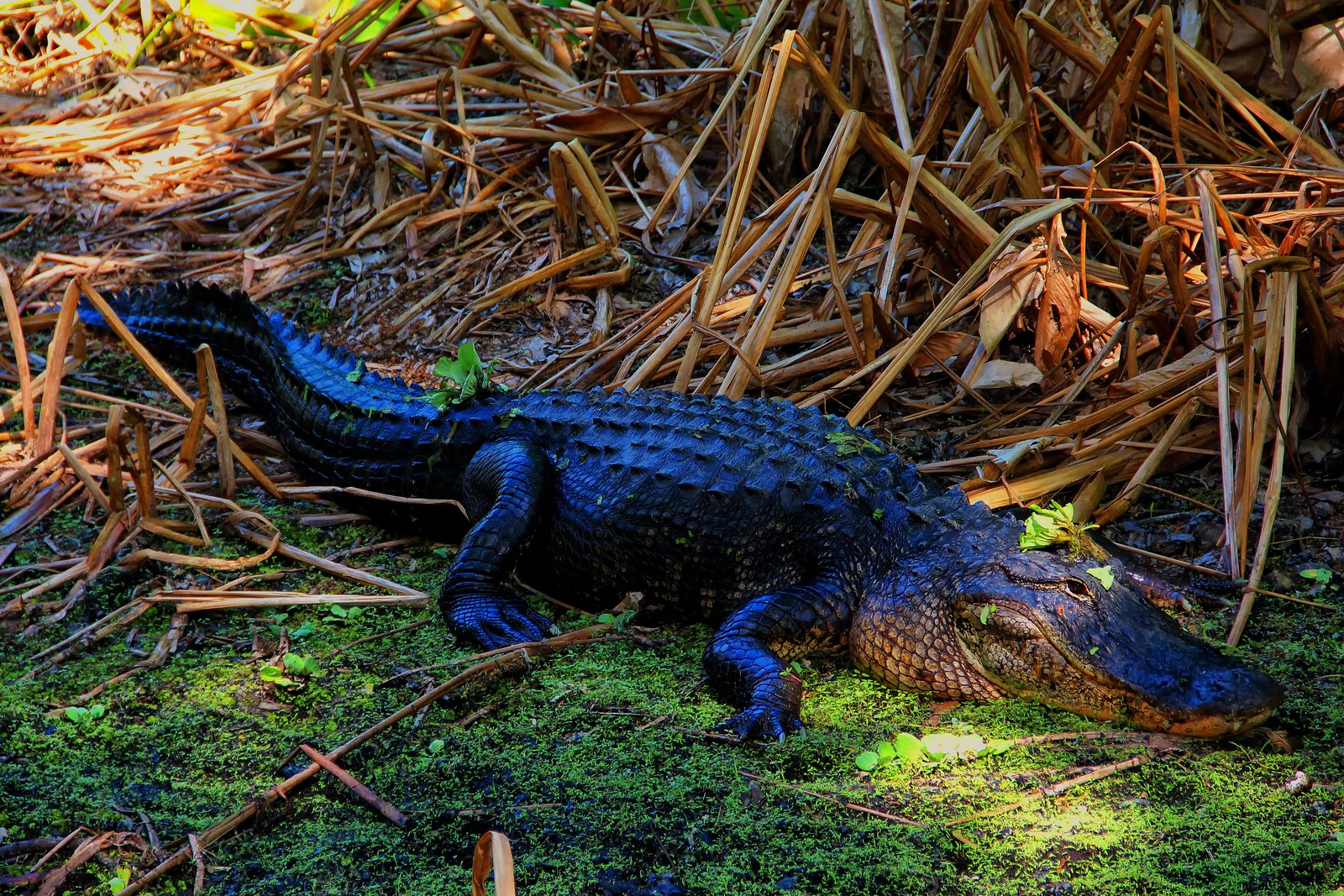 A very large alligator emerged from the water at Corkscrew Swamp Sanctuary and paused for photographs.