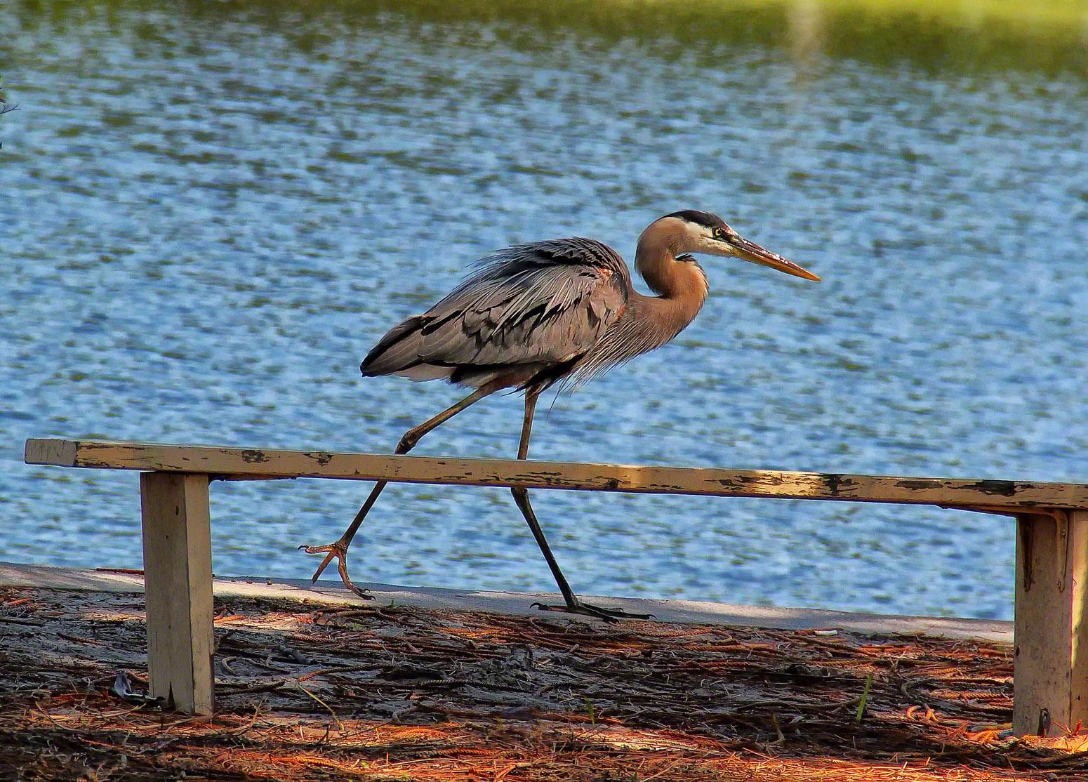 estero, florida, great blue heron, fishing, , photo