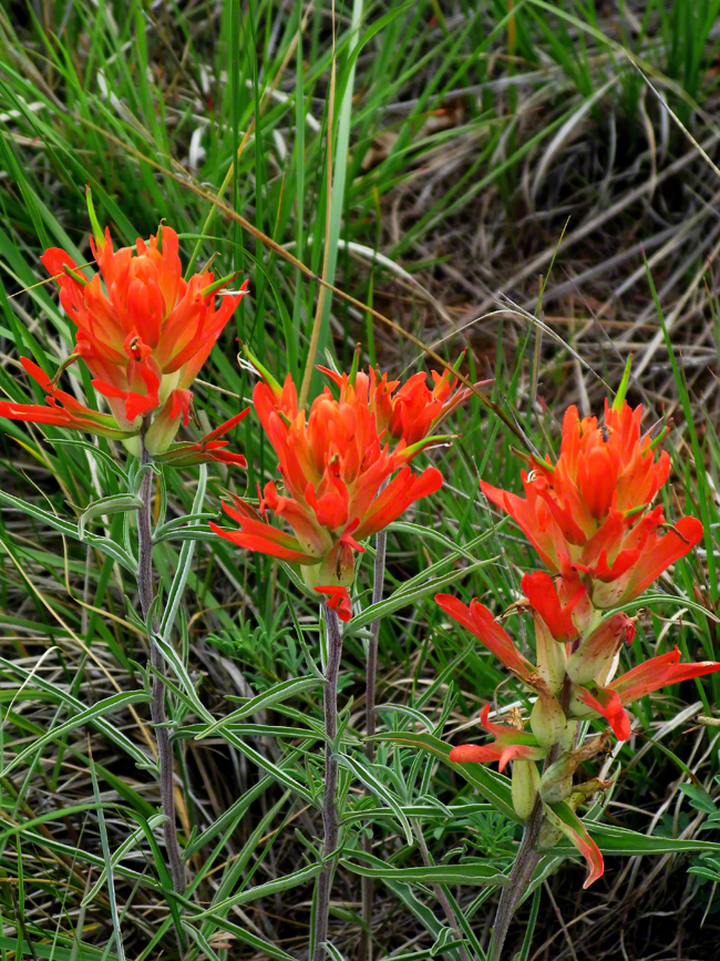 The flowers of the Indian Paintbrush are edible and were eaten by local Native Americans.