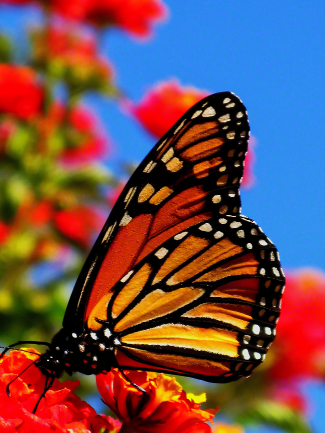 Adult Monarch Butterflies can eat the nectar from any flower, but younger ones need a diet of milkweed.
