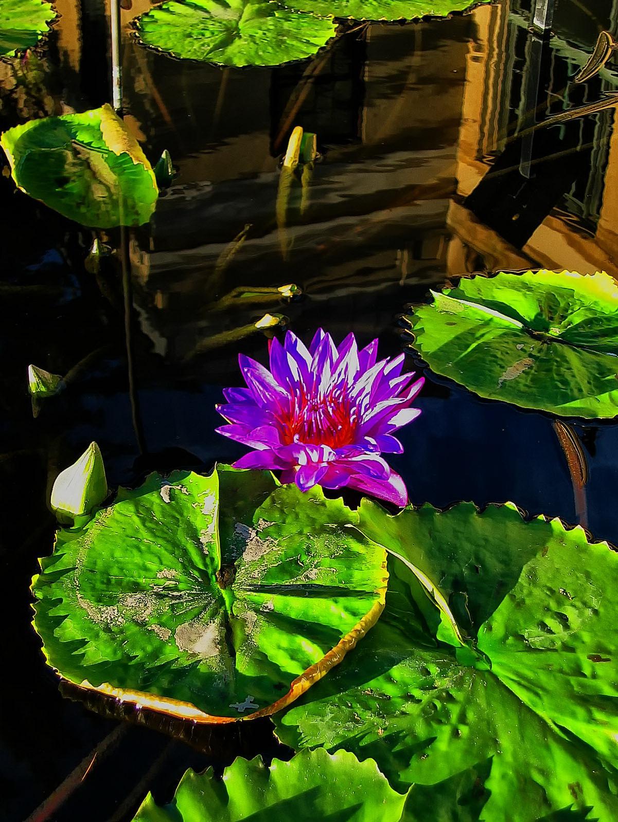 pennsylvania, kennett square, lotus, flower, water,, photo