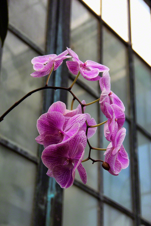 pennsylvania, kennett square, conservatory, orchid, purple, photo