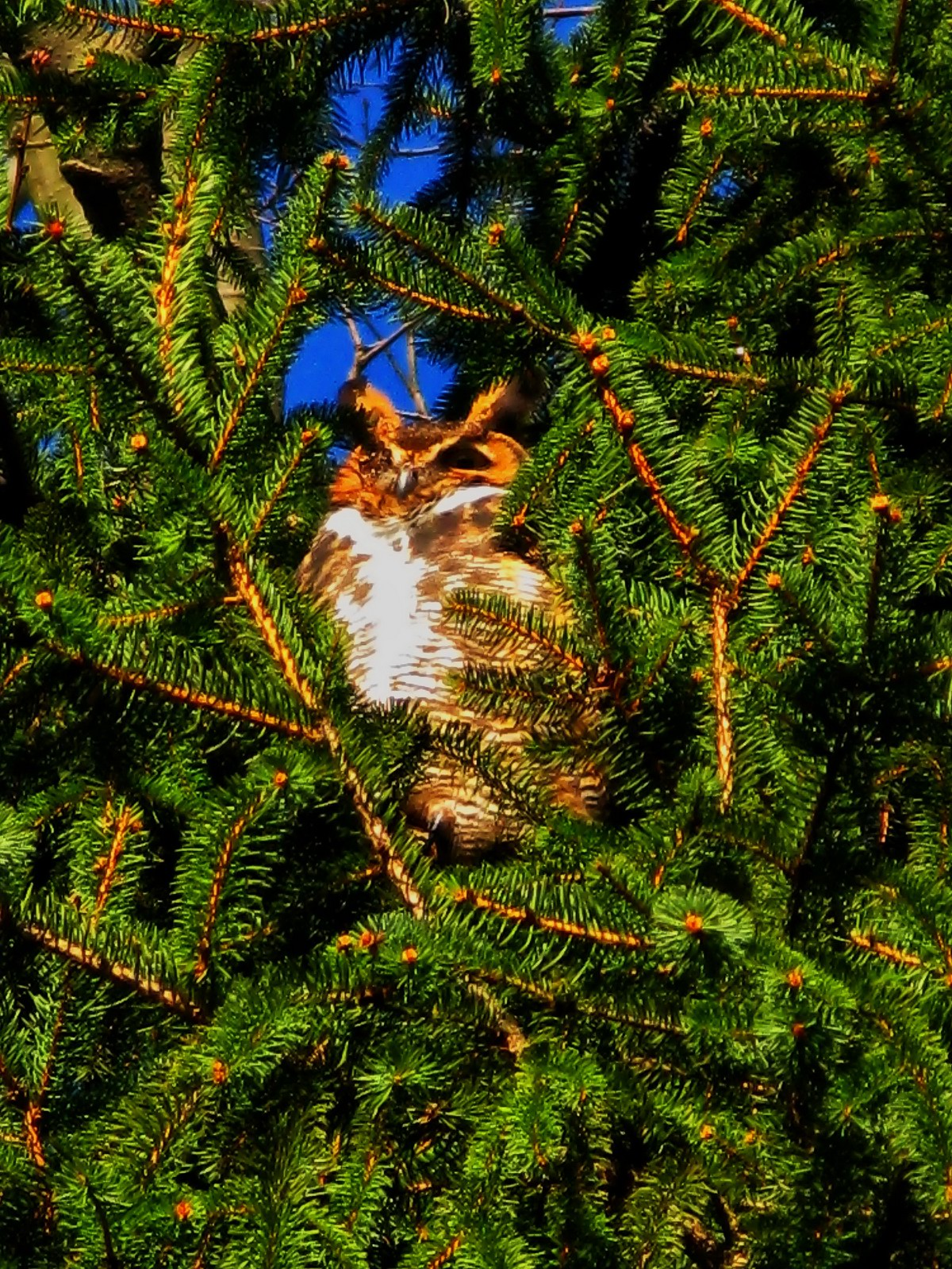 pennsylvania, allentown, great horned owl, , photo