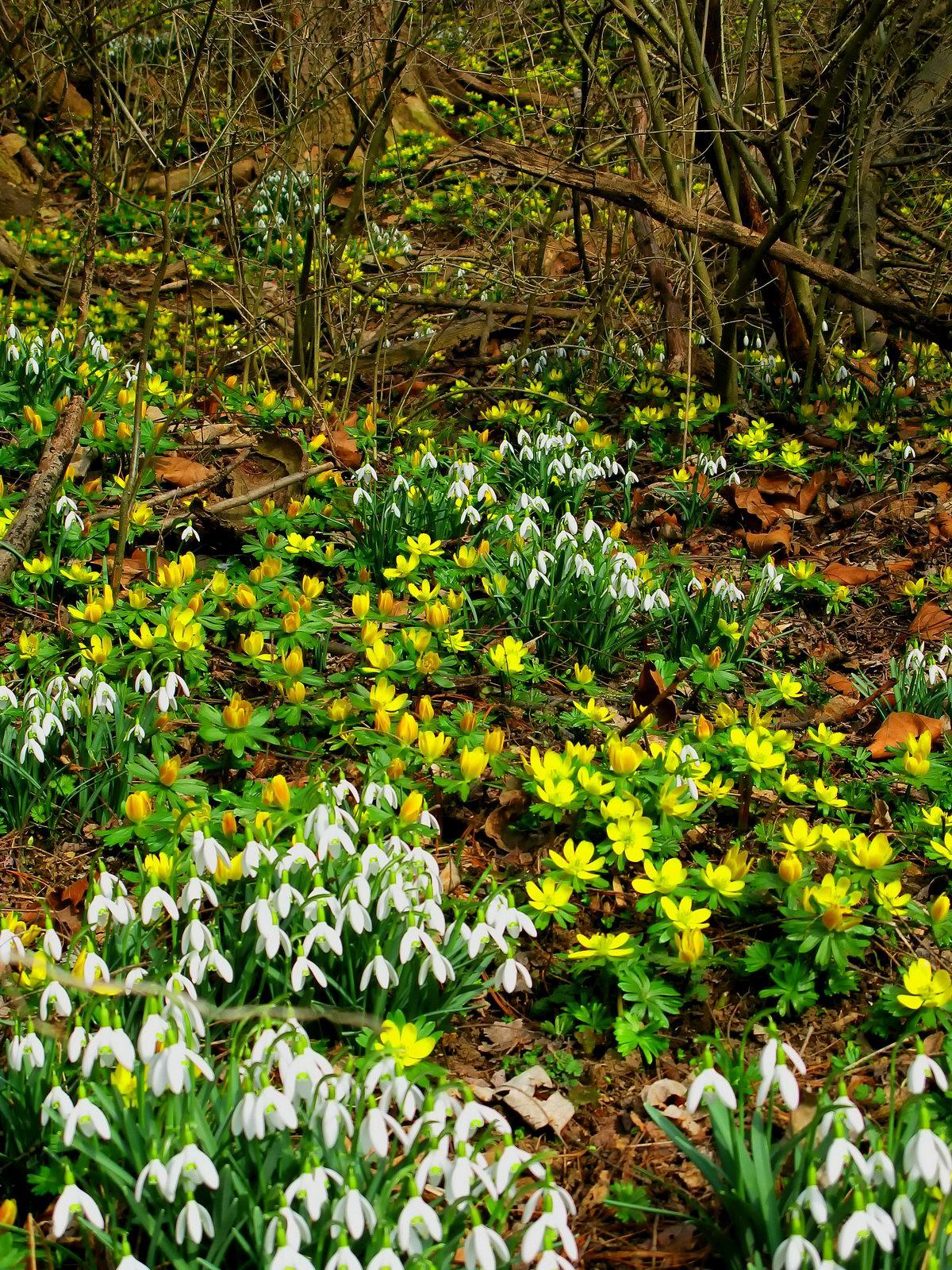 pennsylvania, allentown, snowdrops, winter aconite, spring,, photo