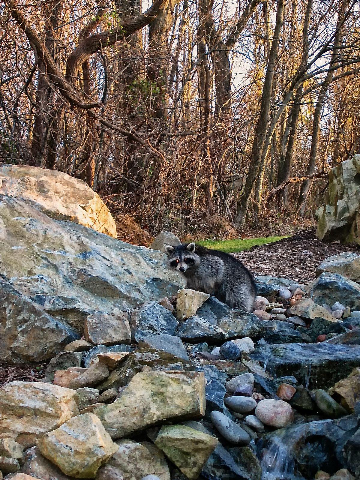 lower saucon twp, pennsylvania, raccoon,  waterfall,, photo