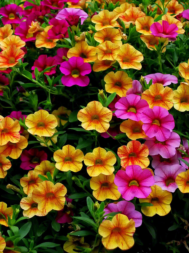 A million bell petunias burst from there basket looking for admirers.